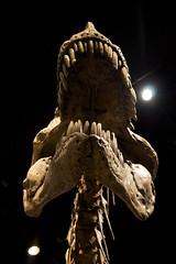 Tyrannosaurus (head detail)