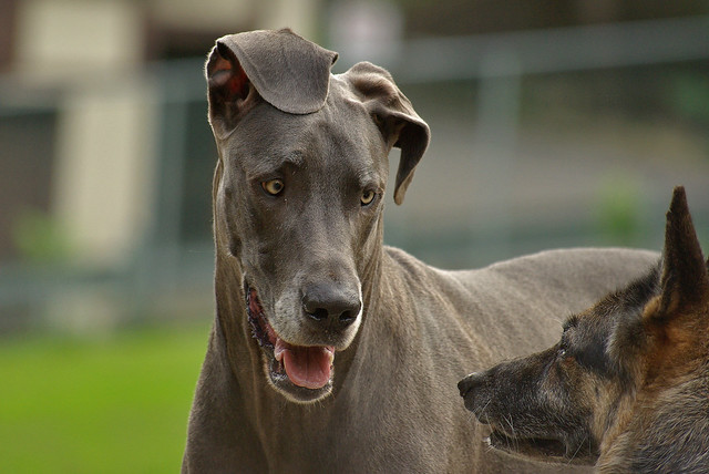 """Great Dane telling the German Shepherd: """"When I move, you move - just ..."""