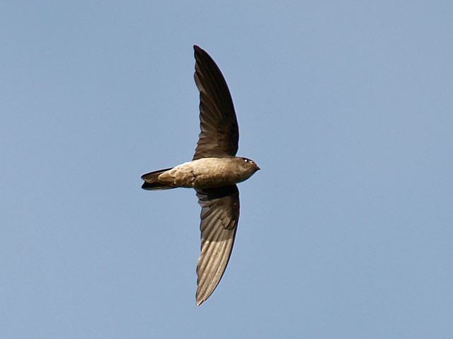 Black-Nest Swiftlet