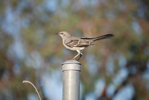 northern mockingbird EW 2