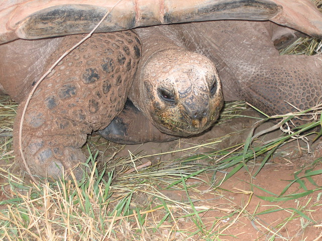 Giant Tortoise At Reptile Gardens Flickr Photo Sharing