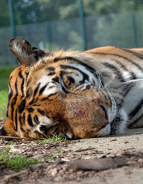 Tiger hybrid - photo#15