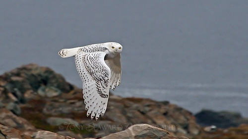 Snowy Owl in Flight