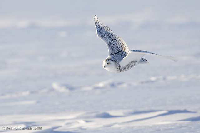 Snowy owl hunting | Flickr - Photo Sharing!