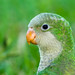 Monk Parakeet - Photo (c) Edwin Harvey, some rights reserved (CC BY-NC-SA)