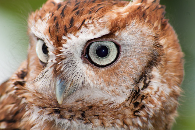 Eastern Screech Owl at Mason Neck State Park is part two for August's Featured Park of the Month.