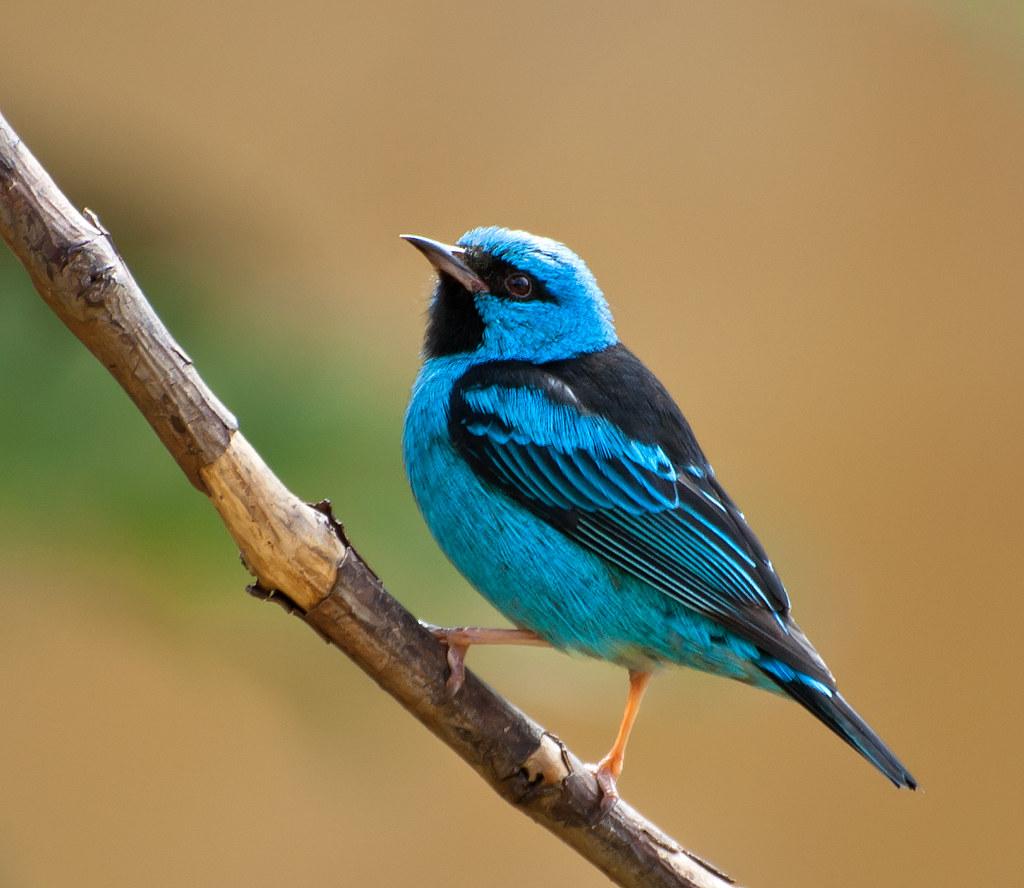 Imagen de una de las aves del Quindio: Dacnis Azul (Dacnis Cayana)