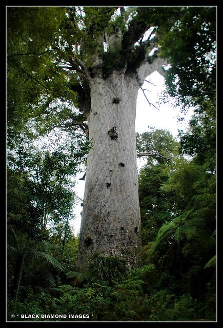 Agathis australis - Tane Mahuta - Tallest Agathis australis - Southern Kauri