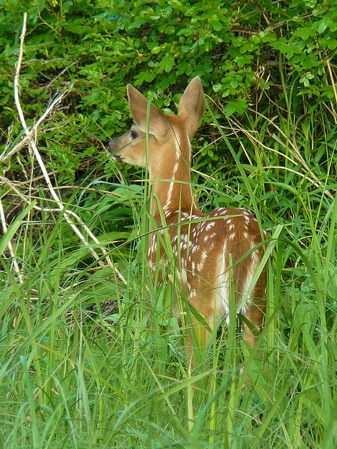 Baby white tailed deer | Flickr - Photo Sharing! - photo#30
