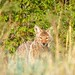 Small photo of Coyote, Bandelier