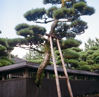 The pine which is taken good care of:)