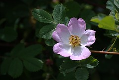blossom(0.0), shrub(0.0), flower(1.0), rosa gallica(1.0), nature(1.0), rosa rubiginosa(1.0), macro photography(1.0), rosa canina(1.0), wildflower(1.0), flora(1.0), rosa multiflora(1.0), rosa acicularis(1.0), rosa pimpinellifolia(1.0), rosa rugosa(1.0), petal(1.0),