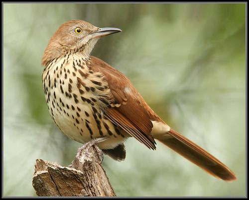 nature birds fauna backyard bravo florida brownthrasher naturesfinest toxostomarufum alachuacounty specanimal canon30d700mmw25mmext1100f56iso400avspotnoflash