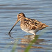Common Snipe - Photo (c) Mark Kilner, some rights reserved (CC BY-NC-SA)
