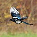 Magpie (Pica pica) Flying at RSPB Old Moor, Barnsley by Steve Greaves