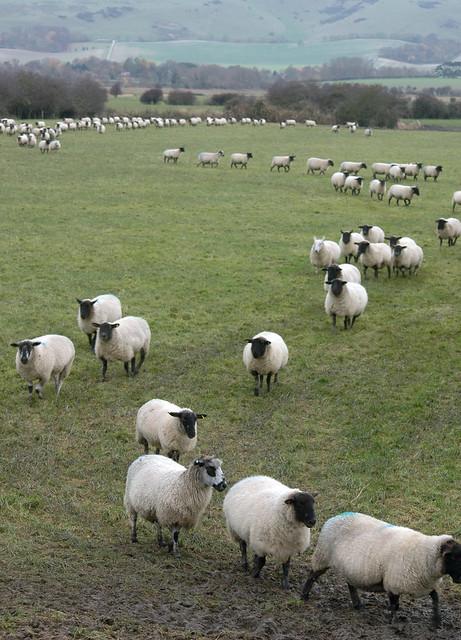 Sheep in a queue?