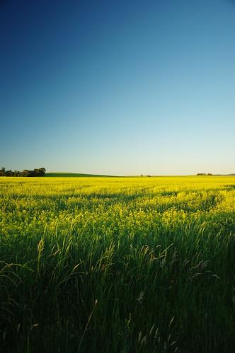 sunlight field landscape geotagged golden scenery canola paddock geo:lat=33423741 geo:lon=149667563