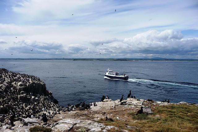 Las islas de Farne, santuario de aves marinas. Northumberland, Inglaterra