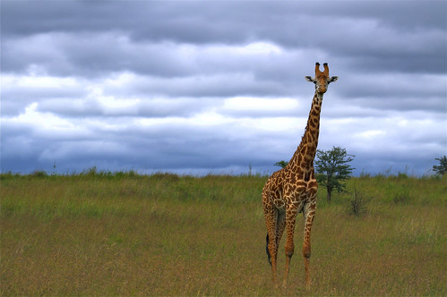 africa park morning wild animal clouds canon pose aj zoo day alone natural cloudy kenya nairobi safari national single giraffe habitat hdr brustein 50d