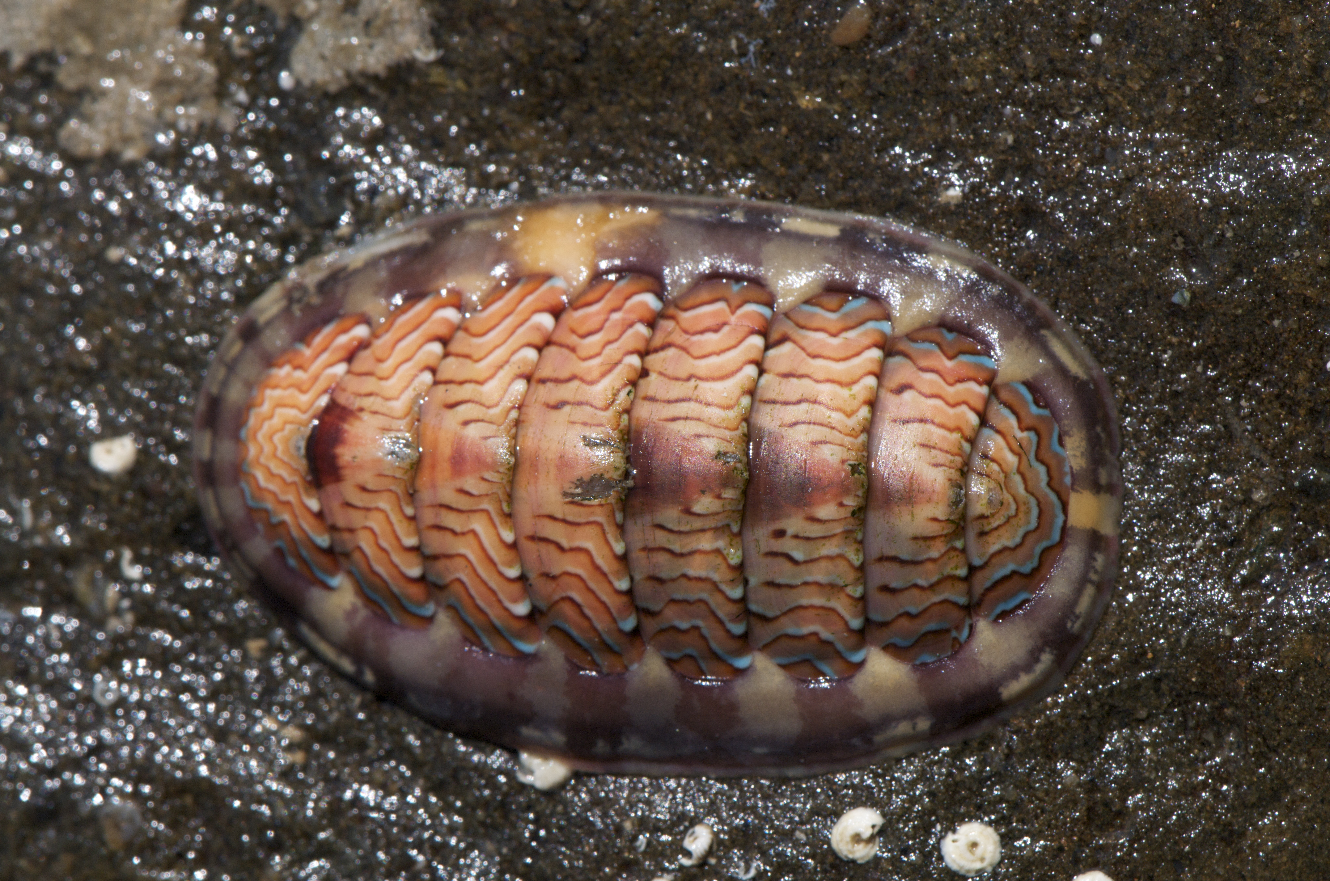 Still Pictures Are All Very Fine And >> Lined Chiton (Tonicella lineata) | I think this is one of th… | Flickr - Photo Sharing!