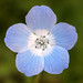 Nemophila - Photo (c) Philip Bouchard, some rights reserved (CC BY-NC-ND)