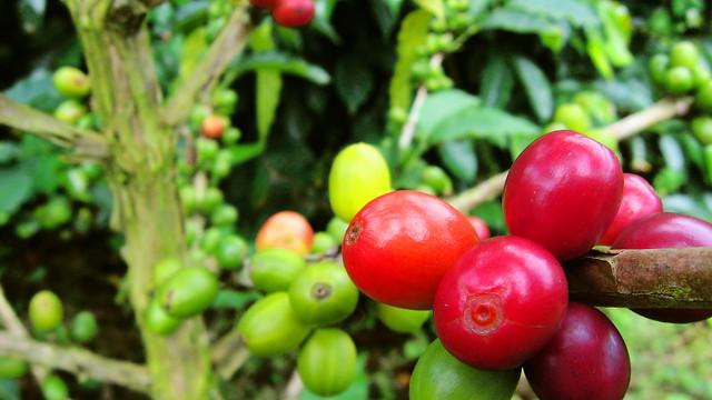 Imagen de unos Granos de café en el Paisaje Natural Cafetero