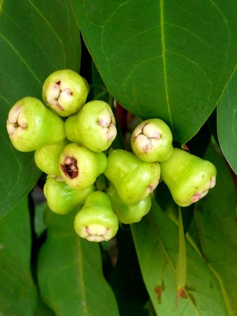 macopa fruit (immature) | Flickr - Photo Sharing!