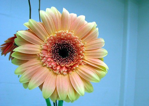 Gerbera daisy used in a table decoration