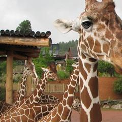 giraffe 作者 A writer afoot