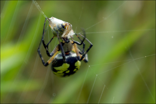 Fat Black And Yellow Garden Spider This Is An Argiope