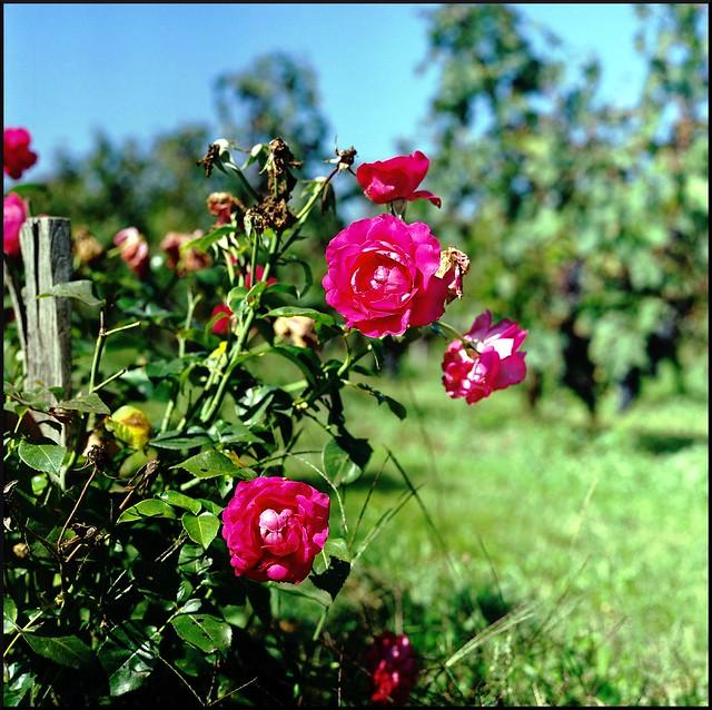 pentacon roses in st.émilion