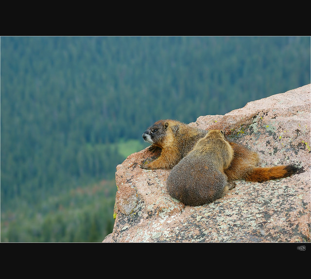 How Did Marmots Reach Vancouver Island