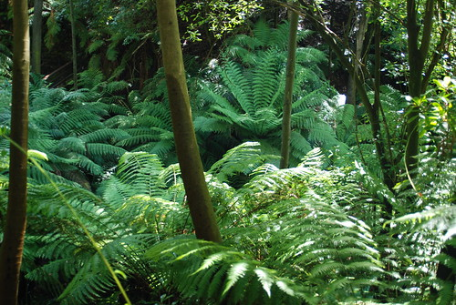 Rainforest ferns - Australian National Botanic Gardens
