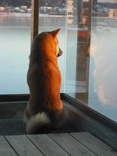 dog pet lake sunrise finland puppy asian japanese living view breed shibainu shiba hiro spitz jyväskylä kitsune primitive 21weeks purebred shibaken 柴犬 koira jyväsjärvi lutakko nihonken horisontti 日本犬 urajiro