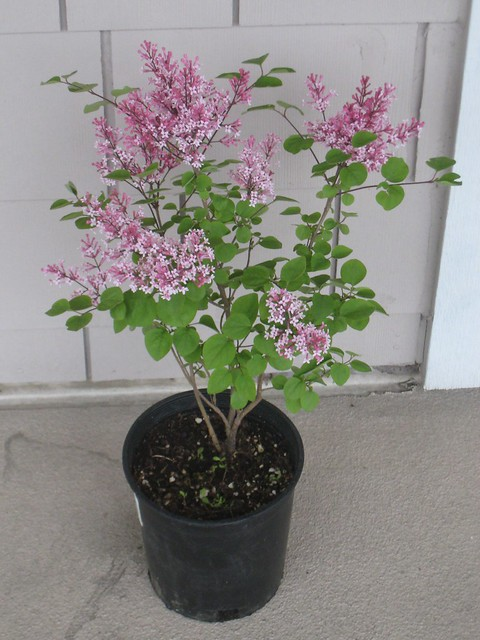My Dwarf Lilac Tinkerbelle Flickr Photo Sharing