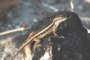 "<a href=""http://www.flickr.com/photos/jroldenettel/2398249235/"">Photo of Sceloporus variabilis by Jerry Oldenettel</a>"