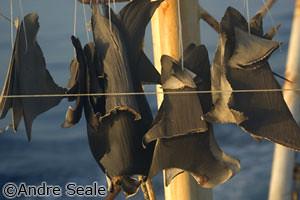 Barbatanas secando