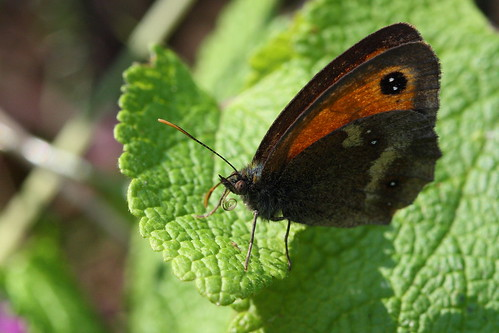 Female Gatekeeper (Pyronia tithonus)