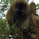 ¿Lemur mangosta? I - Bioparc Valencia