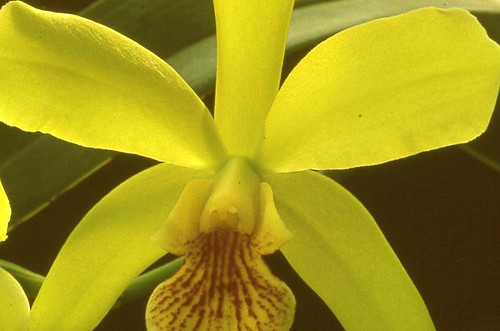 Orchid House: Epicatteya Lemon Twist - Hybrid 1966