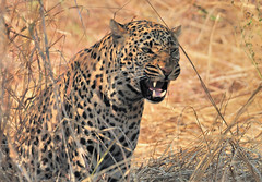 Unhappy Leopard, South Luangwa National Park, Zambia.