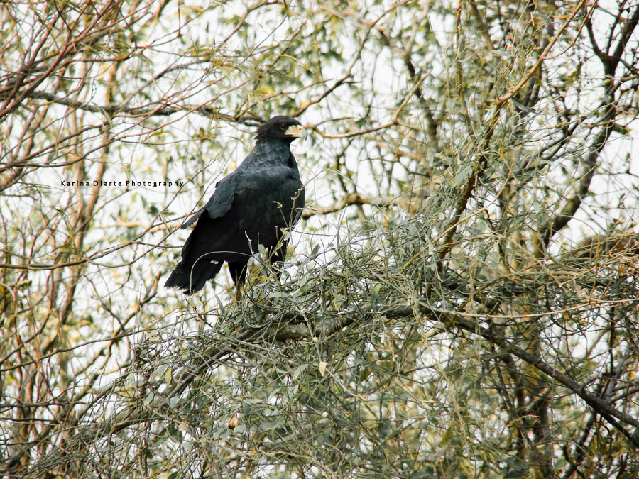 Aguila negra / Great Black Hawk