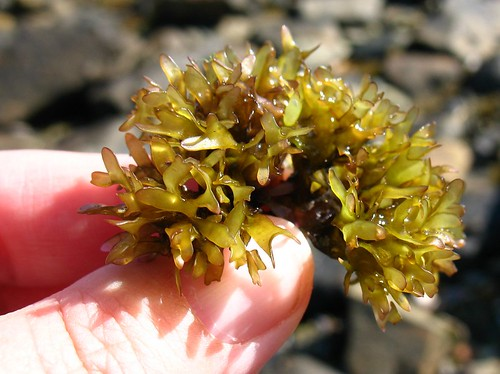 Carragen sea weed