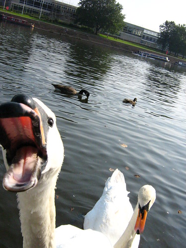 Ahh that swan just bit my bum