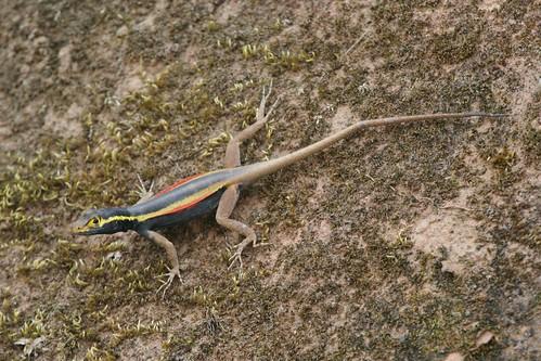 Tropidurus melanopleurus (Black Lava Lizard) - gravid female