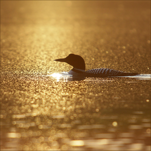 Loon at golden sunset