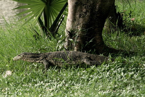 Monitor Lizard by Majeda Haq