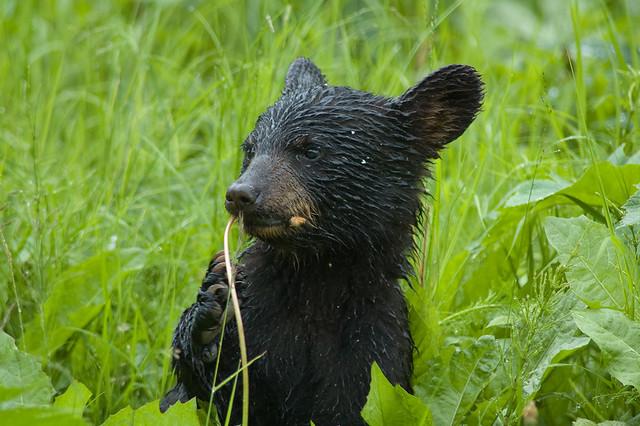 Baby black bear | Flickr - Photo Sharing!