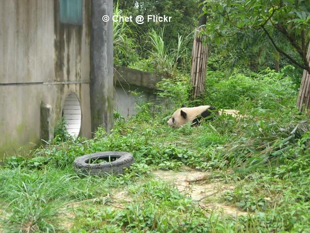 The watching panda