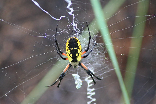 Black And Yellow Argiope Spider Flickr Photo Sharing